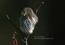 Avid Owl [Northern Pygmy}