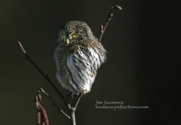Avid Owl [Northern Pygmy]