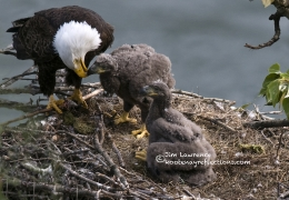 Bald Eagle family feeding