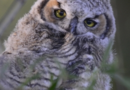 Great-horned Owlette