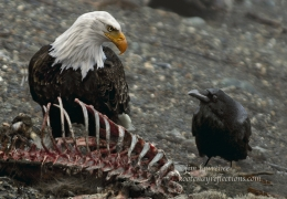 The Eagle, Raven and Ribcage
