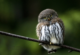 Northern Pygmy Owl In Green