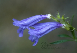 Penstemon early