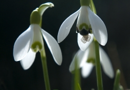 Snow Drop & Bee