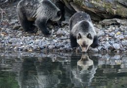 Grizzly  cub drinking