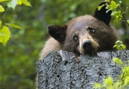 Pensive Bear
